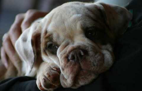 insightout Bulldog Puppies