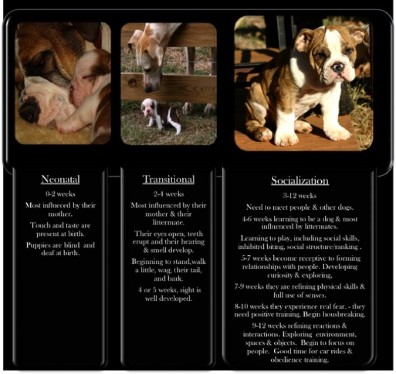 When And How To Socialize Your Olde English Bulldogge Puppy